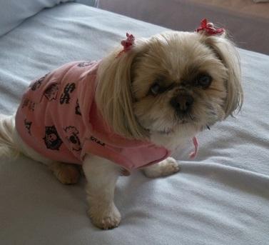 ピンクのパーカーを着てこちらを見ているシーズー犬