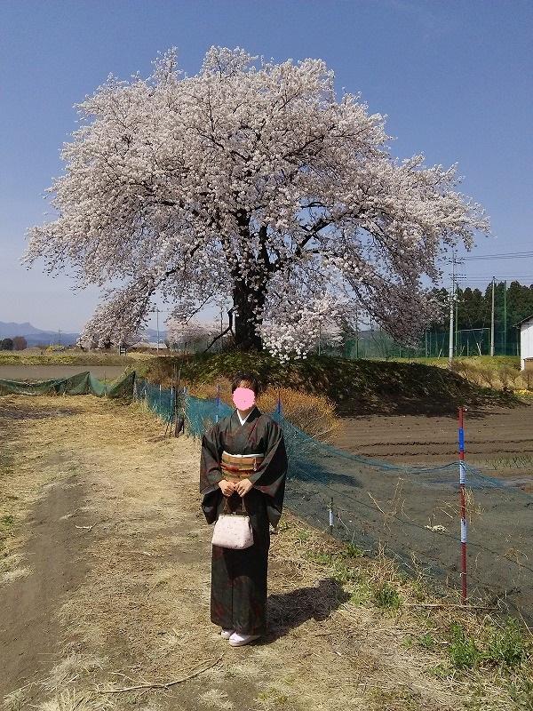 大きな桜の木と大島紬